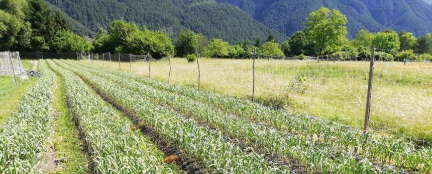 Invito raccolta aglio di resia 2020