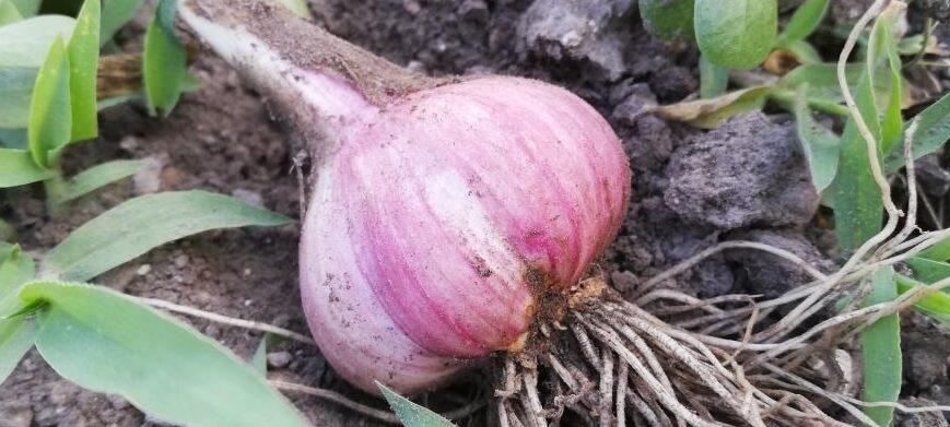 Come conservare l'aglio di Resia?